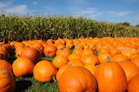 Pumpkin Patch College Station 2014 by Pumpkin Patches In Maryland And Northern Virginia 2017