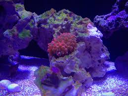 Halloween Hermit Crab Reef Safe by Cheeseburger U0027s Rimless Krusty Krab Aquarium Journals Nano Reef