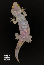 Do Leopard Geckos Shed by This Gecko Rips Off Its Own Skin To Escape Predators Geckos