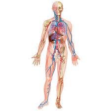 interieur corps humain femme encyclopédie larousse en ligne corps humain