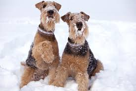 Do Airedale Puppies Shed by Get To Know The Airedale Terrier King Of Terriers