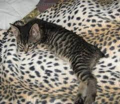 bobtail cat american bobtail cats american bobtail cat breed info pictures