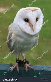 Little White Barn Owl Tyto Alba Stock Photo 32191006 - Shutterstock Barn Owl Looking Over Shoulder Perched On Old Fence Post Stock Eccles Dinosaur Park Carnivore Carnival The Salt Project Barn Moving Head Side To Slow Motion Video Footage 323 Best Owls Images Pinterest Owls Children And Free Images Wing White Night Animal Wildlife Beak Predator 189 Beautiful Birds Sat A Falconers Glove Photo Royalty Image Paris Owl 150 Pictures Snowy More