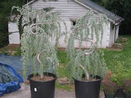 Bought Two Weeping Blue Atlas Cedar Trees Not Sure On How To