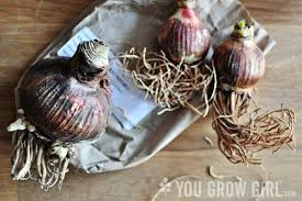 how to plant an amaryllis bulb you grow