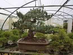 pot bonsai grande taille histoire du bonsai le de p lebas