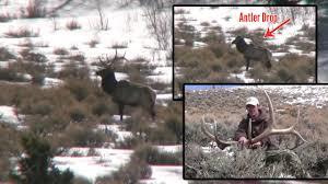 Elk Shed Hunting Utah by Bull Elk Sheds Its Antler On Video