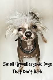 Do All Dogs Shed Their Fur by Small Hypoallergenic Dogs That Don U0027t Bark Much Dog Vills