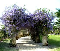Queens Wreath a Naples Botanical Gardens Naples FL – 2015 03