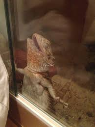 Bearded Dragon Heat Lamp Went Out by 106 Best Bearded Dragons Images On Pinterest Bearded Dragon