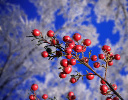 Winterberry Christmas Tree by Surviving The Holidays When You U0027re Chronically Ill Psychology Today