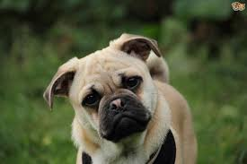Do Pugs And Puggles Shed by Jug Dog Breed Information Buying Advice Photos And Facts