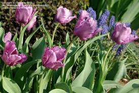 plantfiles pictures parrot tulip blue parrot tulipa by pusia