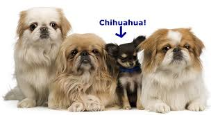 pekingese what s good about em what s bad about em
