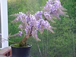 planting wisteria in a pot coppercafe growing wisteria in pots