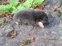 Moles | Hamster Dreams How To Get Rid Of Moles Organic Gardening Blog Cat Captures Mole In My Neighbors Backyard Youtube Animal Wikipedia Identify And In The Garden Or Yard Daily Home Renovation Tips Vs The Part 1 Damaging Our Lawn When Are Most Active Dec 2017 Uerstanding Their Behavior Mole Gassing Pests Get Correct Remedy Liftyles Sonic Molechaser Alinum Covers 11250 Sq Ft Model 7900