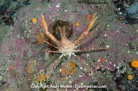 Decorator Crab Tank Mates by Longhorn Decorator Crab Crab