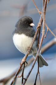 Best 25+ Backyard Birds Ideas On Pinterest | Pretty Birds, Blue ... Wild Birds Unlimited Common Backyard Bird Nest Idenfication Sounds Articles Old Farmers Almanac Whibreasted Nuthatch Sitta Carolinensis Birds Certhioidea Best 25 Birds Ideas On Pinterest Pretty Blue A Brown Headed Cowbird At Thicksons Woods Debunk 12 Myths About Feeding Cute Rbreasted Nuthatch Winter Of Wisconsin Species Infographic Poster By Diana Sudyka The Worlds Photos And Sviceberry Flickr Hive Mind Grow These Native Plants So Your Can Feast Audubon What I Find In My Ontario Canada Youtube