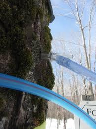 Maple syrup mechanics xylem sap flow and sugar content