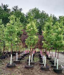Christmas Tree Farms Near Wadsworth Ohio by Garden Center Greenhouse U0026 Nursery Canton Road Garden Center