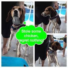 Do Treeing Walker Coonhounds Shed by Life With Beagle July 2015