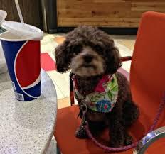 Do Jackie Bichon Shed by Poo Also Known As Poochon Bichpoo Bichon Poodle Dogs