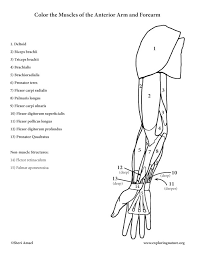 Arm And Forearm Muscles Anterior Coloring Page