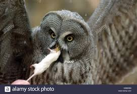 Owl Eating Mouse Stock Photos & Owl Eating Mouse Stock Images - Alamy Usda Studying Iowa Rodents For Avian Flu Public Radio Subtle Elegancebarn Owl Canvas Print Art By Catherine Dubuque County Part Of Barn Owl Boom As Orphaned Owlets Find Home J Thaddeus Ozarks Cookie Jars And Other Larks Love These Meeces Deer Mice Mouse Control Rats New York Stock Photos Images Alamy Barn Cat Traing To Hunt Mice Youtube Tyto Alba Family Tytonidae Parent Bird Bring Its Removal Houston Dallas Fworth 911 Wildlife
