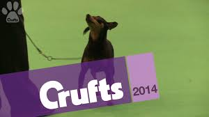 Do Miniature Doberman Pinschers Shed by Miniature Pinscher Best Of Breed Crufts 2014 Youtube