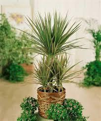 drachenbaum tricolor floragard pflanzeninfothek