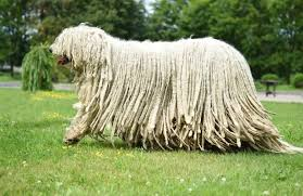 komondor personality history and pictures pawculture