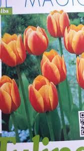pack 5 yokohama tulip bulbs tulip triumph cultivated stock yellow
