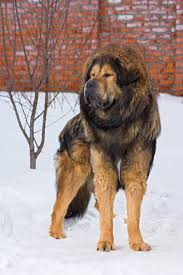 corso excessive shedding tibetan mastiff grooming bathing and care espree animal products