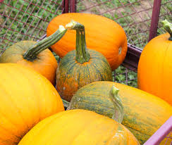 Pumpkin Patches In Arkansas by Fall Traditions The Pumpkin Patch And Corn Maze Evolved