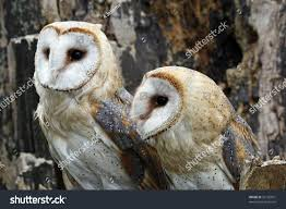 Couple Barn Owls Stock Photo 30126931 - Shutterstock Lets Talk About Birds Barn Owl Pittsburgh Postgazette Couple Owls Stock Photo 30126931 Shutterstock Watch The Secret To Why Barn Owls Dont Lose Their Hearing New Zealand Online Let You Know Birdnote Owl John James Audubons Of America Information Found Suffer No Loss As They Age Facts Pictures Diet Breeding Habitat Behaviour Baby Youtube