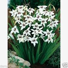 15 peacock orchid bulbs garden flowers new plant january to