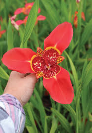 tigridia pavonia mexican shellflowers buy at