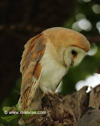 Summer Barn Owls In Oak Trees | Mike Rae Lets Talk About Birds Barn Owl Pittsburgh Postgazette Couple Owls Stock Photo 30126931 Shutterstock Watch The Secret To Why Barn Owls Dont Lose Their Hearing New Zealand Online Let You Know Birdnote Owl John James Audubons Of America Information Found Suffer No Loss As They Age Facts Pictures Diet Breeding Habitat Behaviour Baby Youtube