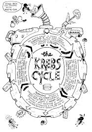 MD The Krebs Cycle On Jay Holsers Great Respiratory Vol 18