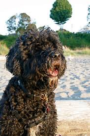 Portuguese Water Dog Non Shedding by Portuguese Water Dogs 18 Little Known Facts About This Unusual
