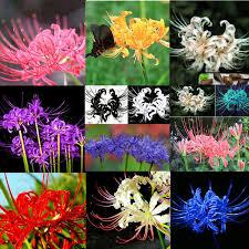aliexpress buy germination 95 perennial 5 pcs bulbs