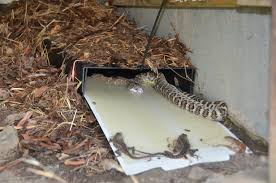 Snake Trap / Cahaba Snake Trap Diamondback Water Snake Indiana 1 Yard Long Youtube Snake Trap Cahaba Ewww Snakes 6 Tips To Keep Them Away From Your Home How A 14 Steps With Pictures Wikihow In The Duck House 9 Tips Help Repel Snakes Fresh Eggs Best Way Ive Found Yet Deal Problems Backyard Removal Wildlife Services Of South Florida Catch Deadly Safely Out Louisiana Department And Fisheries