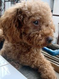dogs which don t shed hair uk hairsstyles co