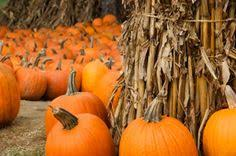Pumpkin Picking In Chester Nj by Riamede Farm Chester Nj United States Picked Pumpkins And
