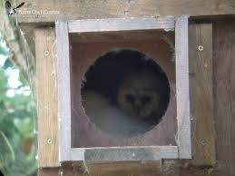 The Barn Owl Centre - Barn Owl Nest Boxes - The Barn Owl Centre Is ... Common Barnowl Tyto Alba Two Juvenile Common Barn Owls At The Pramo Clothing Owling In Owls Glenn County Resource Cservation District Barn Owl Nest Box Nhbs Wildlife Shop Gardening For Birds All About Nesting Logs And Boxes Hecker Nursery Triangular Girl Scout Gold Award Benefits Birds Burroughs Audubon Society Boxes Hungry Project Bbook Mount Gravatt Environment Group Wiggly Wigglers Duhallow Raptor Plans Vip
