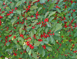 Winterberry Christmas Tree Farm by Heritage Landscape Design U203a Plant Gallery