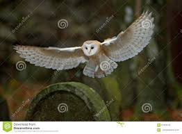 Barn Owl With Nice Wings Landing On Headstone Stock Image - Image ... This Galapagos Barn Owl Lives With Its Mate On A Shelf In The Baby Barn Owl Owls Pinterest Bird And Animal Magic Tito Alba Sitting On Stone Fence In Forest Barnowl Real Owls Echte Uilen Wikipedia Secret Kingdom Young Tyto Roost Stock Photo 206862550 Shutterstock 415 Best Birds Mostly Uk Images Feather Nature By Annette Mckinnnon 63 2 30 Bird Great Grey
