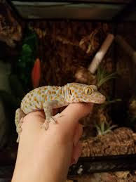 Baby Halloween Crested Gecko by Pangea Reptile Pangeareptile Twitter