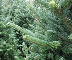Plantable Christmas Trees For Sale by Live Potted Christmas Trees For Sale Texas Best Images