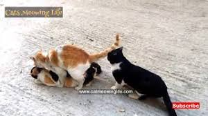 cats mating cats mating up 2016 new